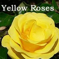 yellow-roses-sqr